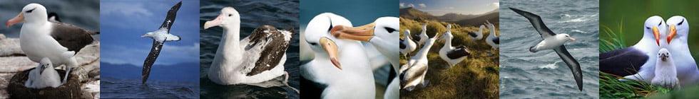 Как правильно пишется слово «альбатрос»?